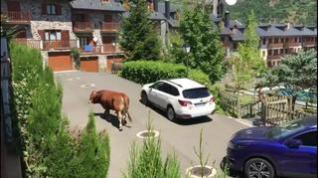 Un toro campa a sus anchas por las calles de Benasque