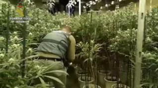 Incautan más de 7.500 plantas de marihuana en dos operaciones en Zaragoza y Toledo