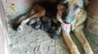 La Guardia Civil rescata a 6 cachorros enterrados vivos en Teruel