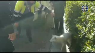 La Policía Local rescata un zorro ártico que deambulaba por las calles de Sevilla