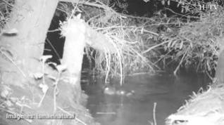 Los castores que surcan el Ebro son capaces de limar los árboles con sus dientes y de derribarlos