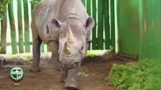 Muere el rinoceronte más viejo del mundo a los 57 años