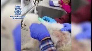 La Policía Nacional desmantela dos criaderos ilegales de chihuahuas y rescata cerca 300 perros