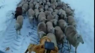 Quitanieves especial para llevar a buen recaudo a sus ovejas