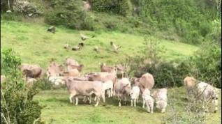Batalla de buitres y vacas en el valle de Benasque
