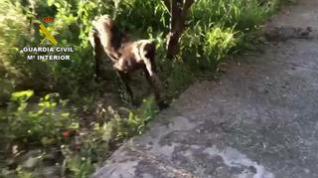La Guardia Civil recupera a un galgo y un chihuahua robados en Monzón