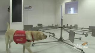 Investigadores en Reino Unido estudian si los perros pueden oler a los enfermos de coronavirus