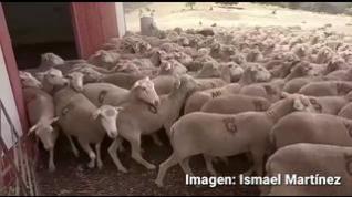 Los ganaderos trashumantes de Albarracín volverán de Jaén en camiones por miedo al contagio