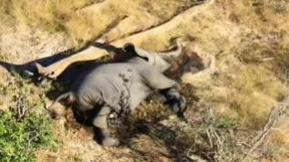 Preocupación por la aparición de más de 400 elefantes muertos en África en el último mes