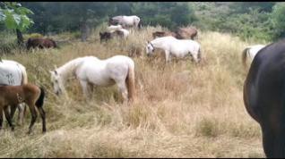 La única manada de caballos trashumantes previene incendios camino de Villarquemado
