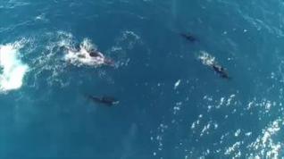 El impresionante ataque de una manada de orcas a una ballena jorobada y su cría