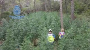 Desmantelada una plantación de marihuana oculta en los bosques de Huesca