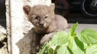 Adopta, por confusión, a un puma creyendo que era un gato