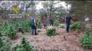 Nuevo golpe contra macroplantaciones de marihuana en la provincia de Huesca