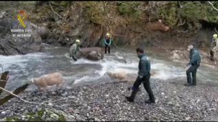 La Guardia Civil recupera siete ovejas que cayeron a la presa de Izas, en Canfranc