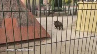 Susto por un jabalí suelto en un parque de Barbastro