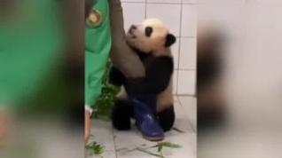 Se hace viral un vídeo oso panda... muy cariñoso con su cuidador