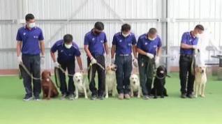 Perros entrenados para detectar la covid