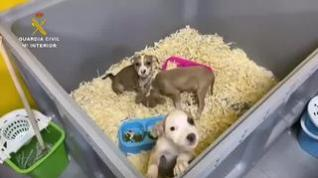 Detenidas en Toledo cinco personas por vender cachorros de perro enfermos