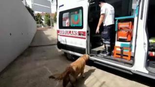 Un perro persigue la ambulancia que traslada a su dueña hasta un hospital de Estambul