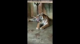 Dos tigres de Sumatra de un zoo Indonesia pasan aislados el coronavirus