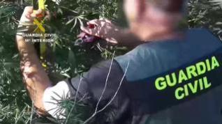La Guardia Civil desmantela una plantación de marihuana en Mequinenza
