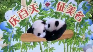 Dos bebés panda gemelos se presentan en público 100 días después de su nacimiento en China
