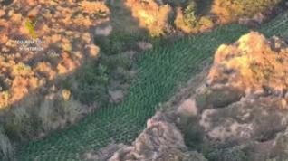 Desmantelada la mayor plantación de marihuana en la provincia de Huesca