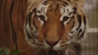 Liberado un tigre que era maltratado en un club privado de Ucrania