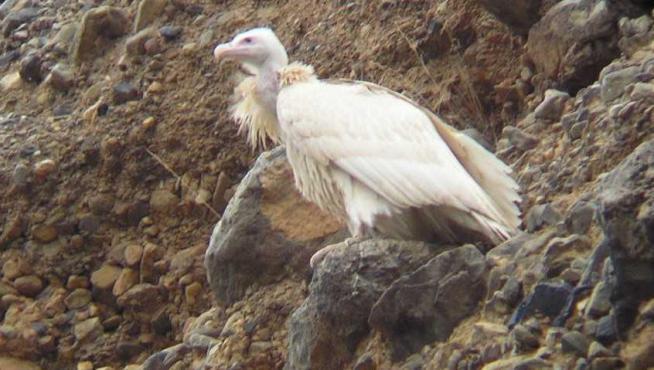 Hacia el año 2008 se pudo fotografiar a este buitre leonado blanco en un roquedo del municipio zaragozano de Los Fayos. No se le volvió a ver.