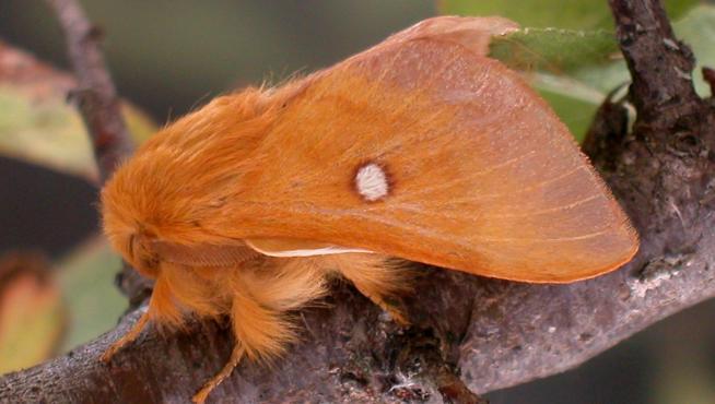 'Eriogaster catax', especie protegida ligada a los setos situados entre pastos en zonas de media montaña.