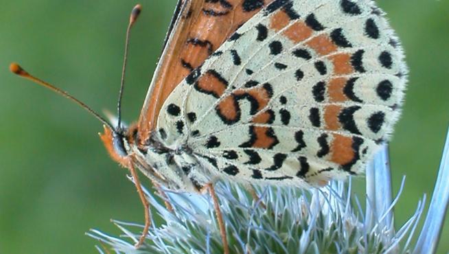 'Melitaea didyma', una especie que realiza una importante función polinizadora en praderas de montaña.