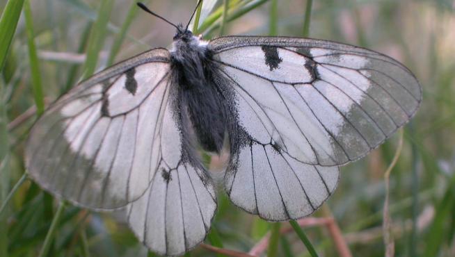 'Parnassius mnemosyne', otra especie amenazada incluida en el listado de especies silvestres en régimen de protección especial.