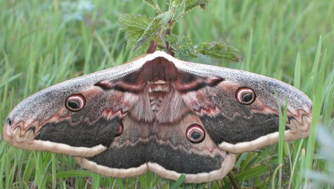 'Saturnia pyri', la mariposa europea de mayor tamaño. Antes común, esta especie nocturna es cada día es más escasa por el uso de pesticidas y la contaminación lumínica.
