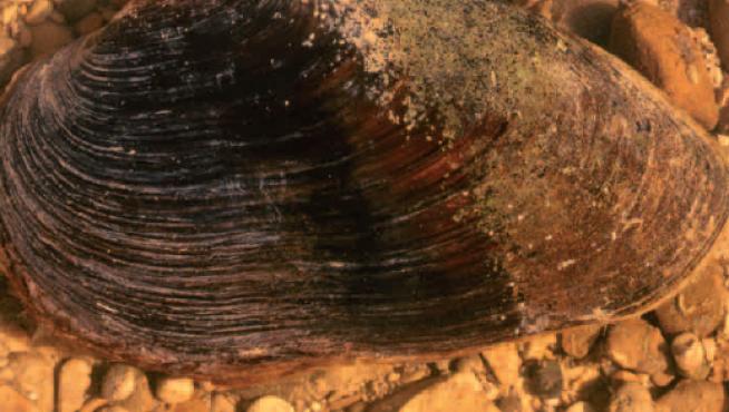 La margaritífera es una de las especies más amenazadas de Aragón.