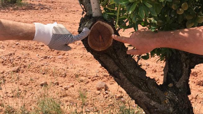 Podredumbre interna en un almendro que sufre 'caries de la madera'.