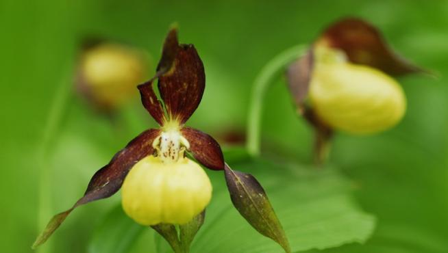 Ejemplar de la orquídea zapatito de dama