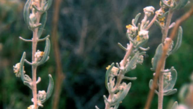 al-arba planta vulnerable en Aragón