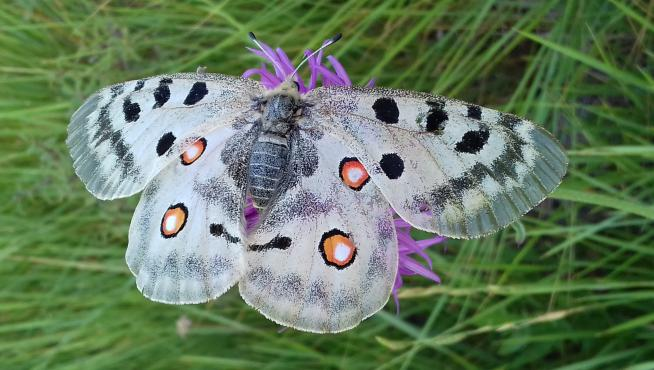 'Parnassius apollo', especie amenazada incluida en el listado de especies silvestres en régimen de protección especial.