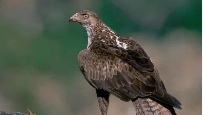 El águila-azor perdiguera es una de las especies más amenazadas de Aragón.