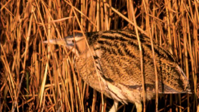 El avetoro es una de las especies más amenazadas de Aragón.