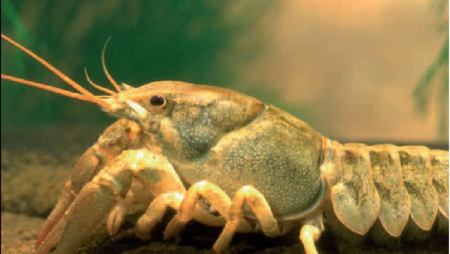 El cangrejo de río es una de las especies más amenazadas de Aragón.