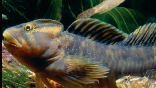 El pez fraile es una de las especies más amenazadas de Aragón.