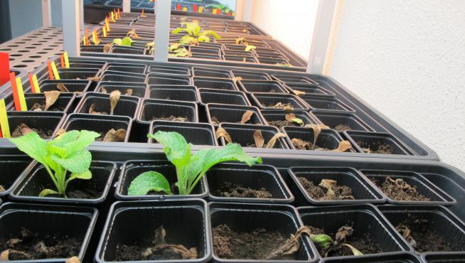 Plantas de borraja inoculadas con el hongo Fusarium oxysporum.