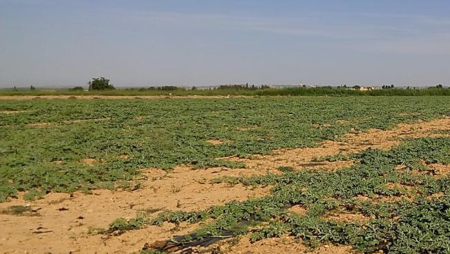 Parcela de cultivo de sandía en Peñaflor (Zaragoza).