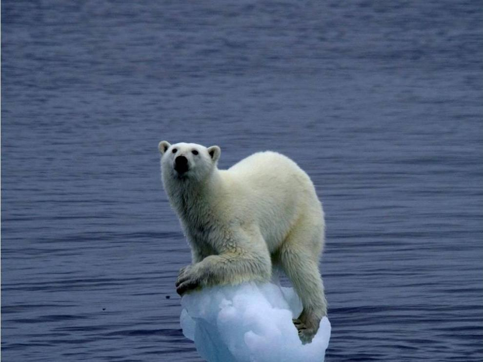 El oso polar se ve afectado por el cambio climático y el deshielo de los polos, su hábitat natural