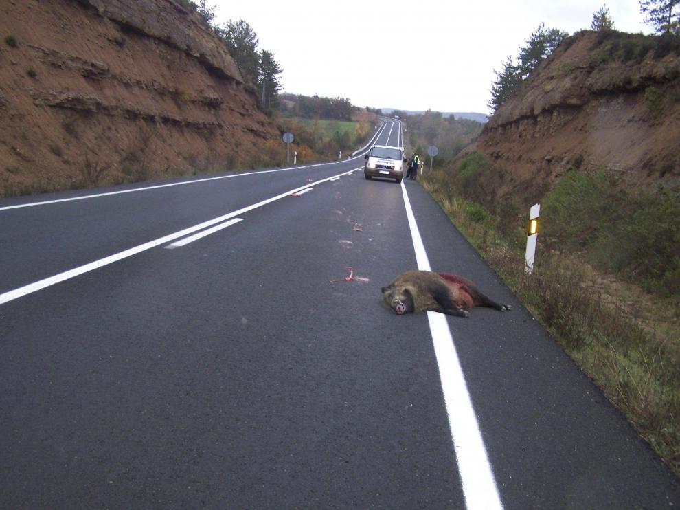 Un jabalí yace muerto sobre el asfalto de una carretera aragonesa.