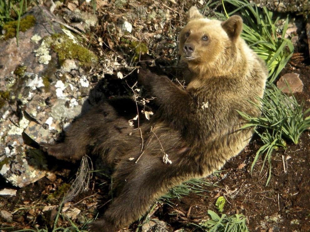 El oso pardo es una especie protegida desde 1971.