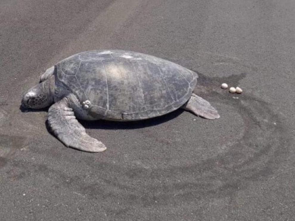 La tortuga verde poniendo los huevos en la pista de aterrizaje.