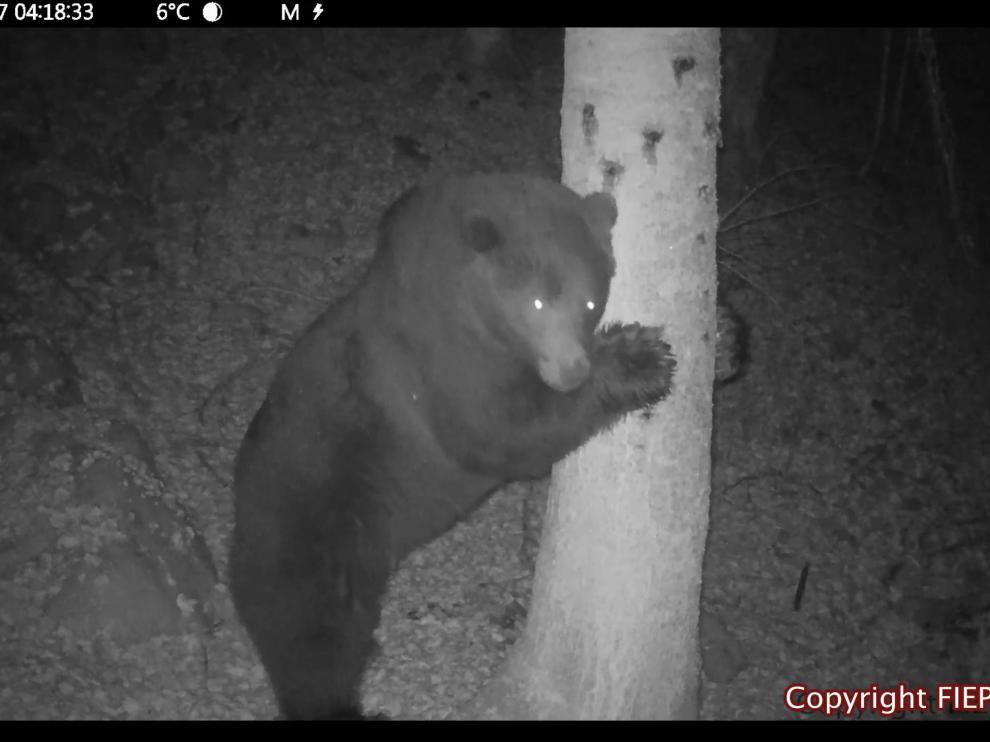 Neré, captada por una de las cámaras instaladas para seguir a la población de osos.